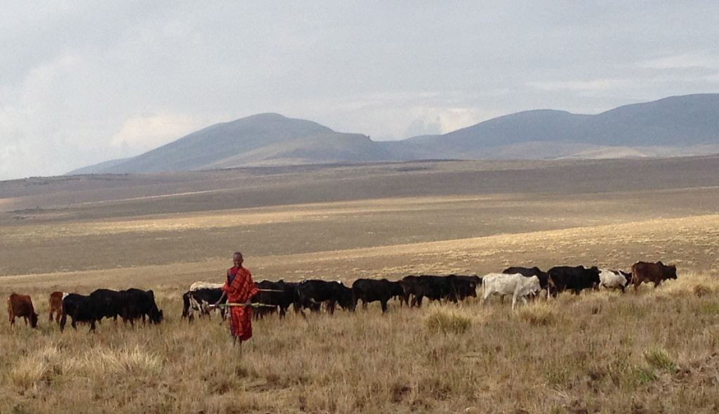 Young man herding cattle in Alailelai village